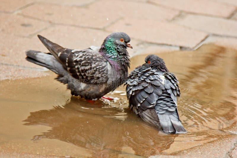 Paare der grauen Tauben, die in einer Pf?tze auf der Stra?e schwimmen V?gel baden im Wasser auf Pflastersteinen im Regen Liebe, F stockfotografie