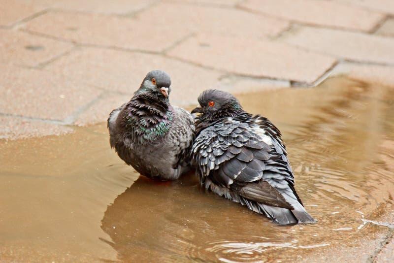 Paare der grauen Tauben, die in einer Pf?tze auf der Stra?e schwimmen V?gel baden im Wasser auf Pflastersteinen im Regen Liebe, F stockfoto