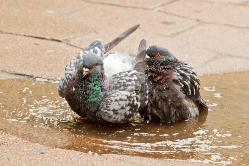 Paare der grauen Tauben, die in einer Pf?tze auf der Stra?e schwimmen V?gel baden im Wasser auf Pflastersteinen im Regen Liebe, F stockfotos