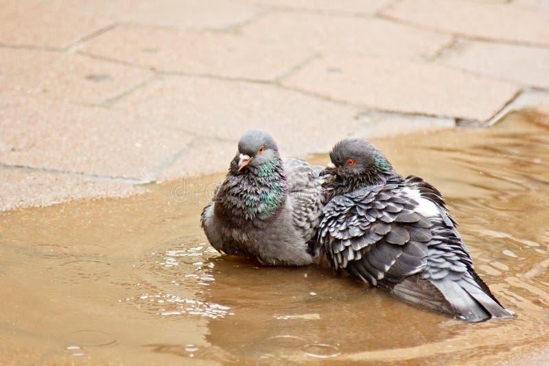 Paare der grauen Tauben, die in einer Pf?tze auf der Stra?e schwimmen V?gel baden im Wasser auf Pflastersteinen im Regen Liebe, F lizenzfreies stockbild