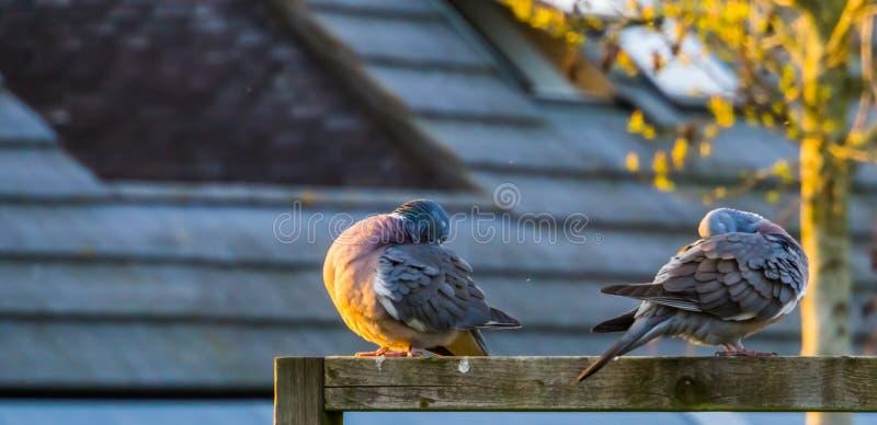 Paare der hölzernen Tauben, die zusammen sitzen und ihre Federn, gemeine Vögel von Europa putzen lizenzfreie stockfotos