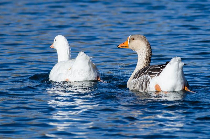 Paare der inländischen Gänse, die zusammen im ruhigen Teich schwimmen stockbilder
