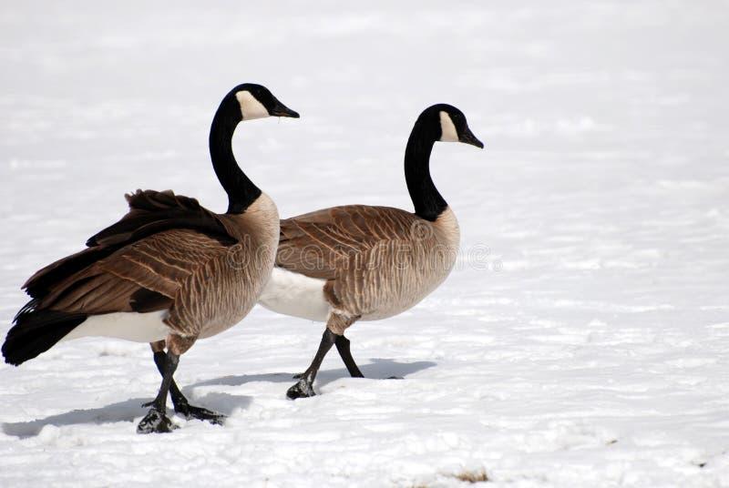 Paare der kanadischen Gänse stockfotos