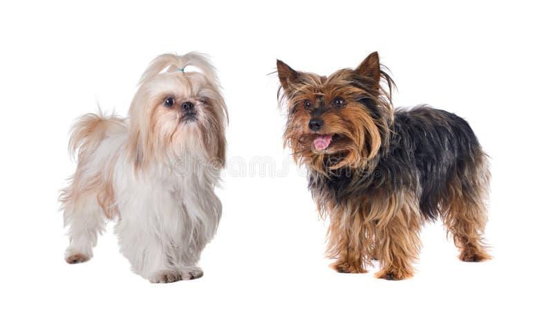 Paare der kleinen Hunde stockfotografie