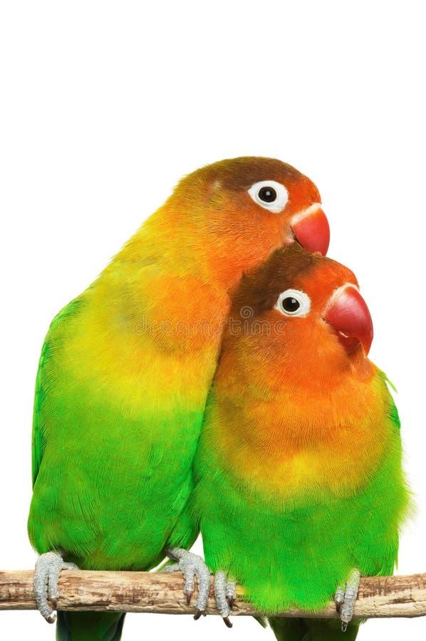Paare der kleinen Lovebirds lizenzfreie stockbilder