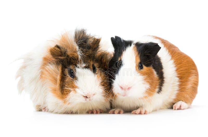Paare der netten Meerschweinchen lizenzfreie stockfotografie