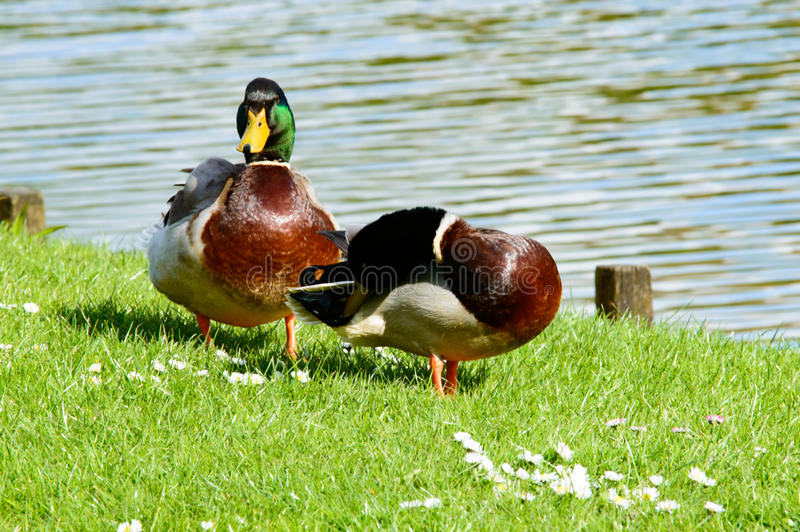 Paare der netten Stockenten nähern sich Teich lizenzfreie stockbilder