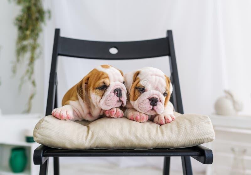 Paare der netten Welpen einer Bulldogge, die sich zufällig im Stuhl entspannt stockfotografie
