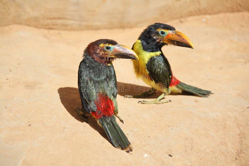Paare der toucan Küken lizenzfreies stockbild