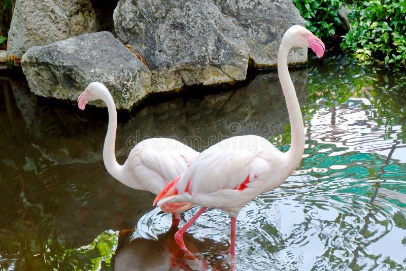Paare der weißen Flamingos in einem Teich stockfotografie