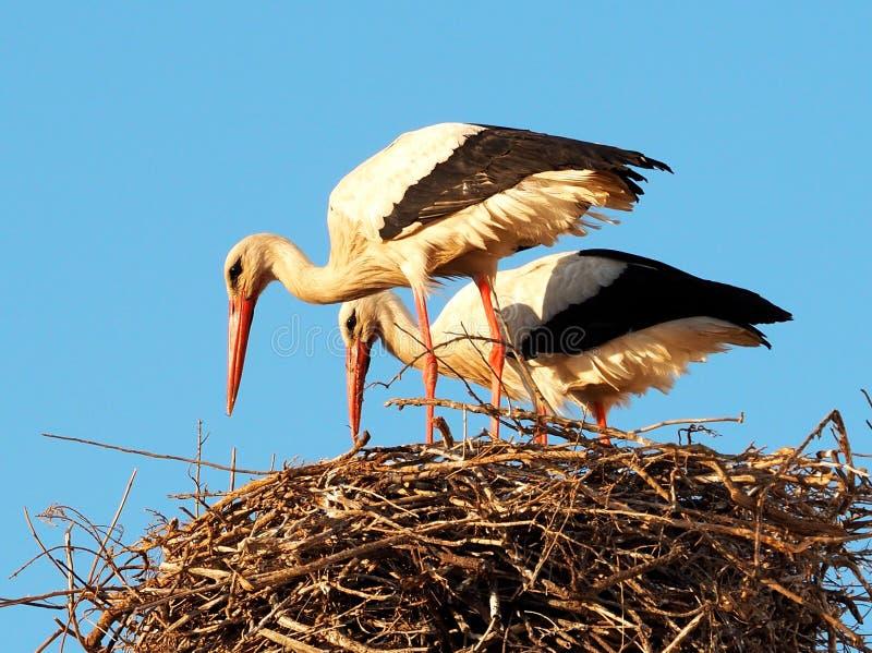 Paare der weißen Störche oder des ciconia ciconia mit Nest lizenzfreies stockfoto