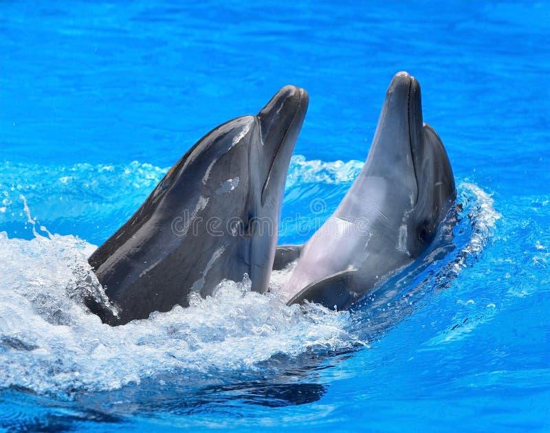 Paare des Delphins im blauen Wasser. stockfotografie