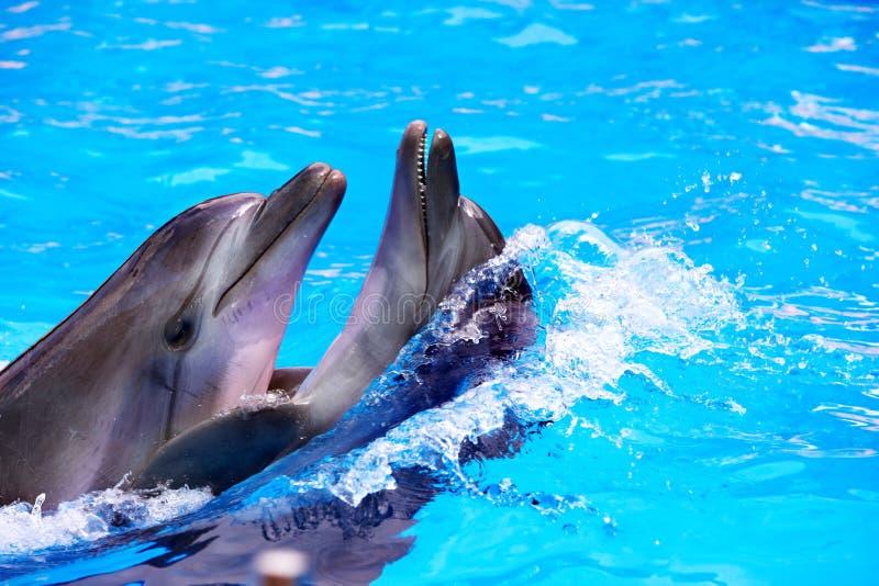 Paare des Delphins im blauen Wasser. stockfoto