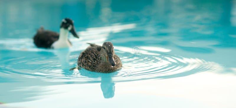 Paare des fügenden Enten-Hotel-Pool-wildes Tier-Vogels stockbilder