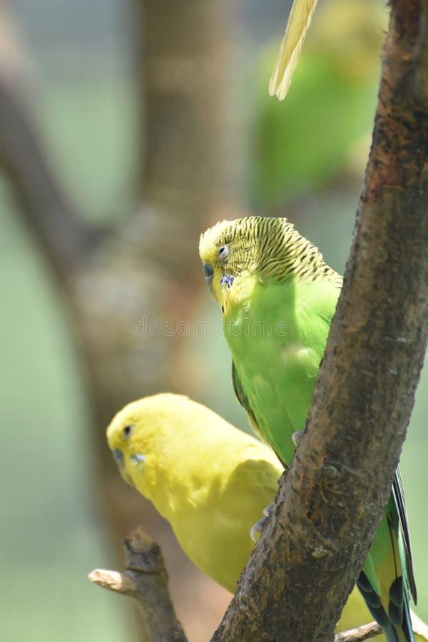 Paare des grünen und gelben Wellensittichs, der in einem Baum sitzt lizenzfreie stockfotografie