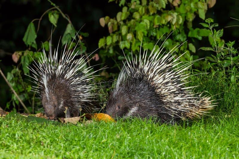 Paare des malaiischen Stachelschweins der nächtlichen Tiere stockbild