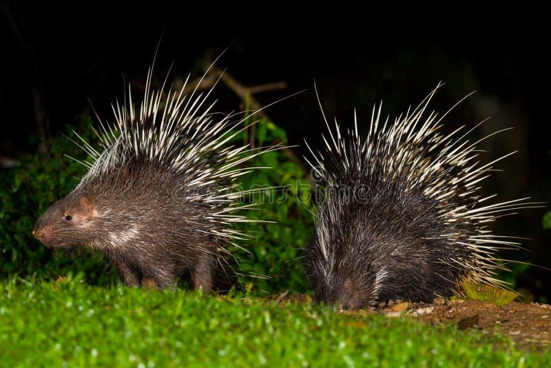 Paare des malaiischen Stachelschweins der nächtlichen Tiere lizenzfreie stockfotos