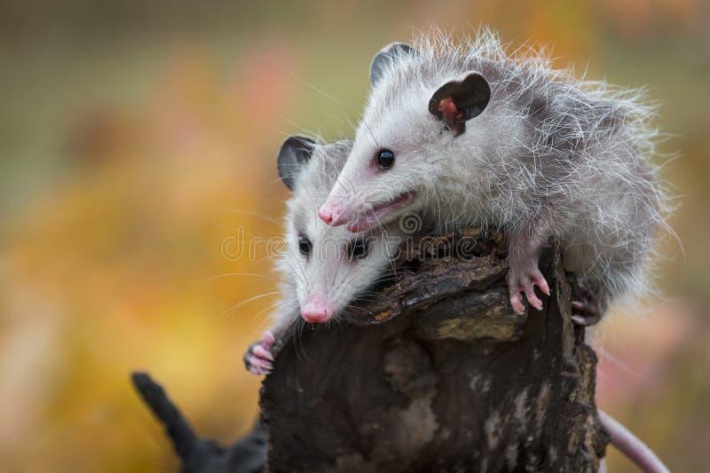 Paare des Opossums Joeys Didelphimorphia stecken auf Klotz-Enden-Herbst die Köpfe zusammen stockfotos