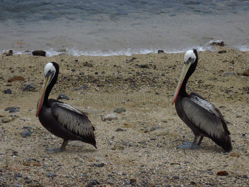 Paare des Pelikans stockbild