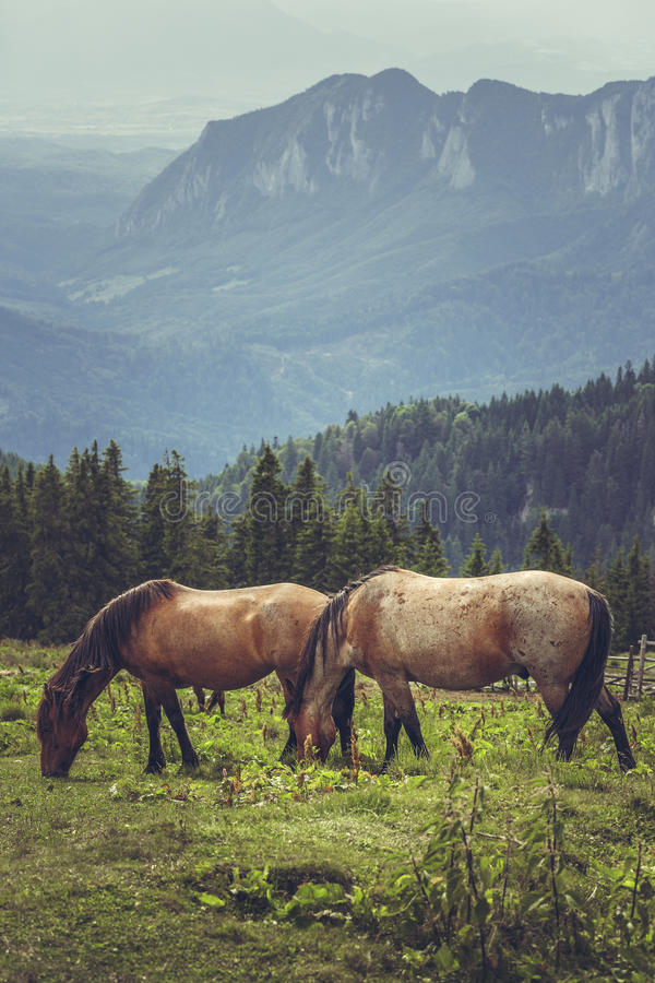 Paare des Weiden lassens der Pferde stockfotos