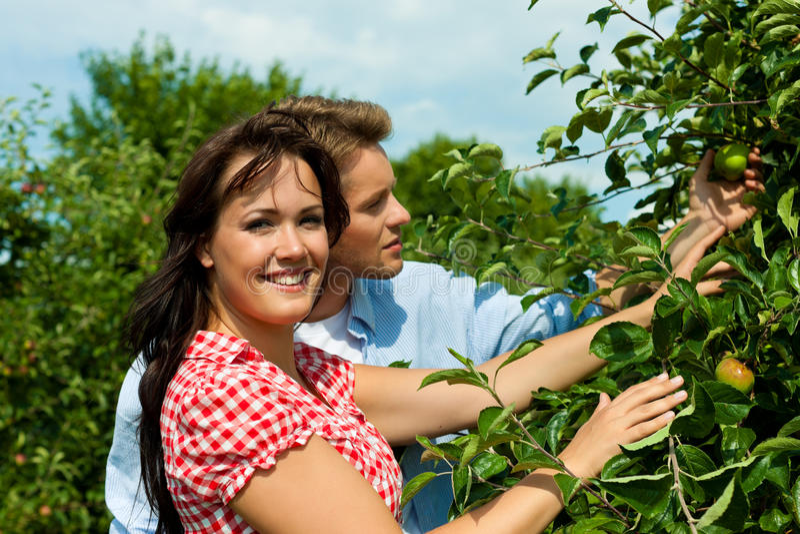 Paare, die Äpfel am Sommer ernten lizenzfreie stockfotos