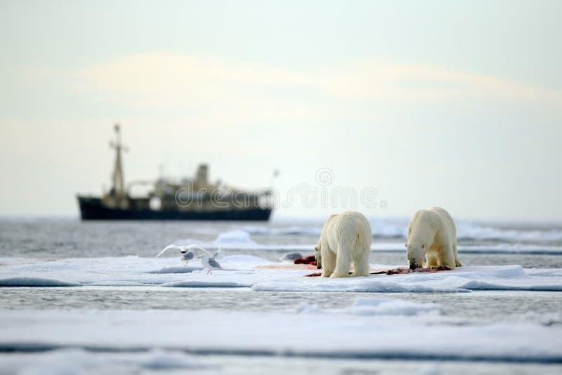 Paare Eisbären mit blutiger Tötungsdichtung im Wasser zwischen Treibeise mit Schnee, unscharfer Kreuzfahrtchip im Hintergrund, Sv stockfotografie