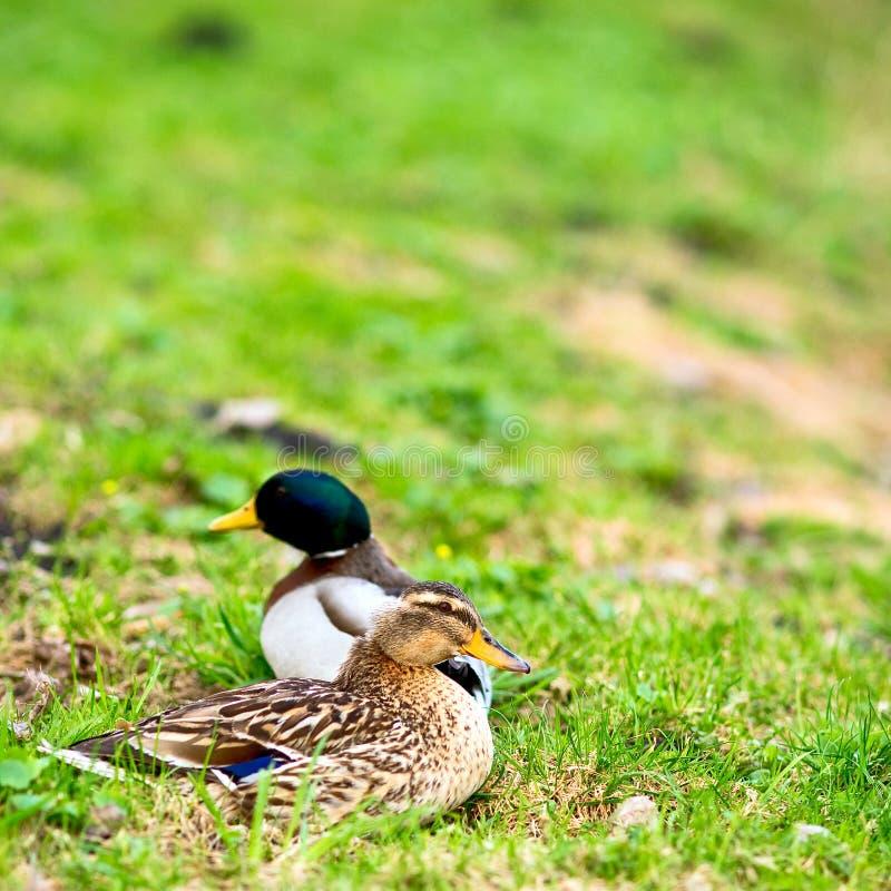 Paare Enten lizenzfreie stockbilder