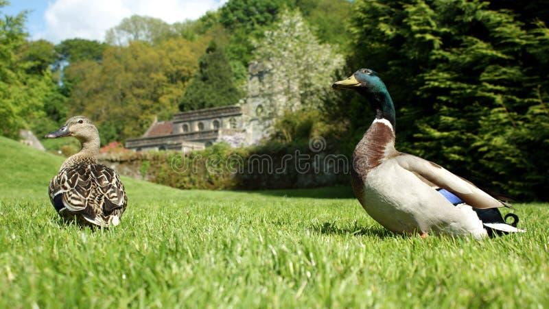 Paare Enten stockfotografie