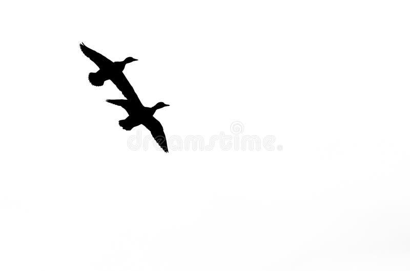 Paare Enten silhouettiert gegen einen weißen Hintergrund, wie sie fliegen lizenzfreie stockbilder