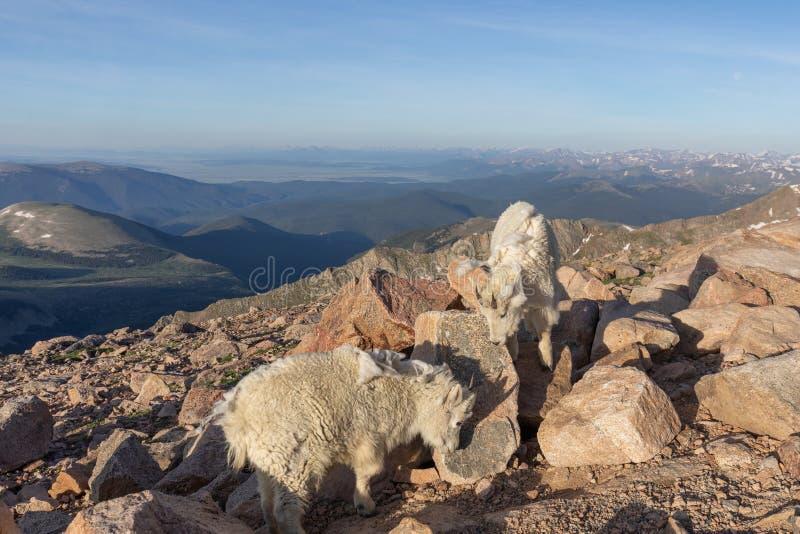 Paare Gebirgsziegen in Colorado stockbilder