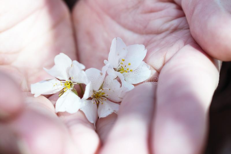 Paare Hände, die Kirschblüten halten stockfotografie