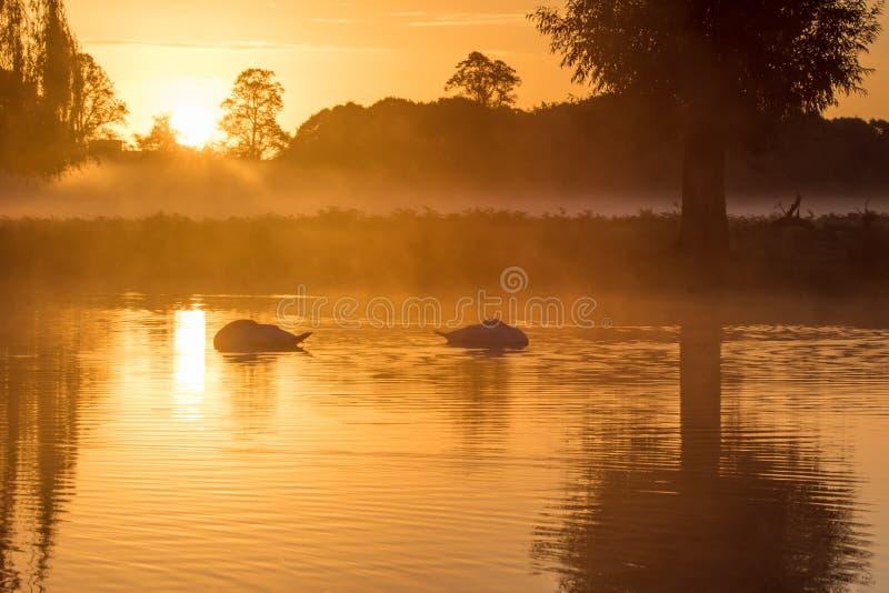 Paare Höckerschwäne Cygnus olor, das auf goldenem Teich schläft stockfoto
