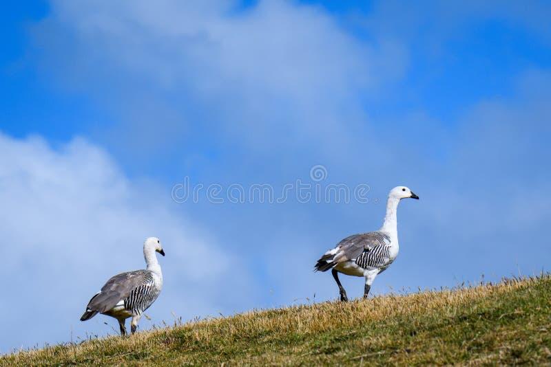 Paare Hochland-Gänse auf dem Kamm eines grasartigen Hügels gegen einen blauen Himmel mit weißen geschwollenen Wolken, Falkland Is lizenzfreies stockfoto