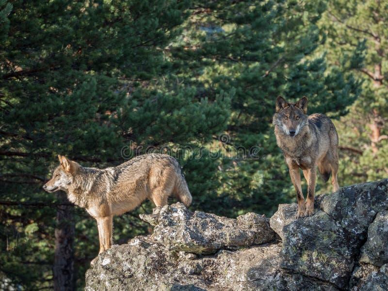 Paare iberischen Wölfe Canis Lupus signatus über einem Felsen stockfotografie