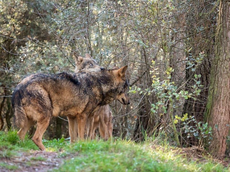 Paare iberischen Wölfe Canis Lupus signatus in der Hitze würzen lizenzfreies stockfoto