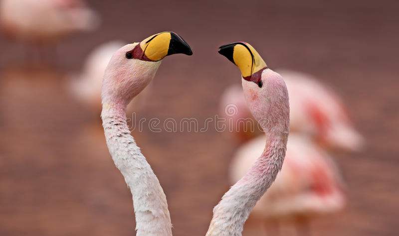 Paare James Flamingo Phoenicoparrus-jamesi stockfotografie