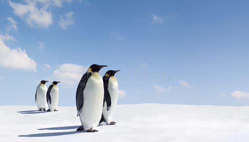 Paare Kaiser-Pinguine stockbild
