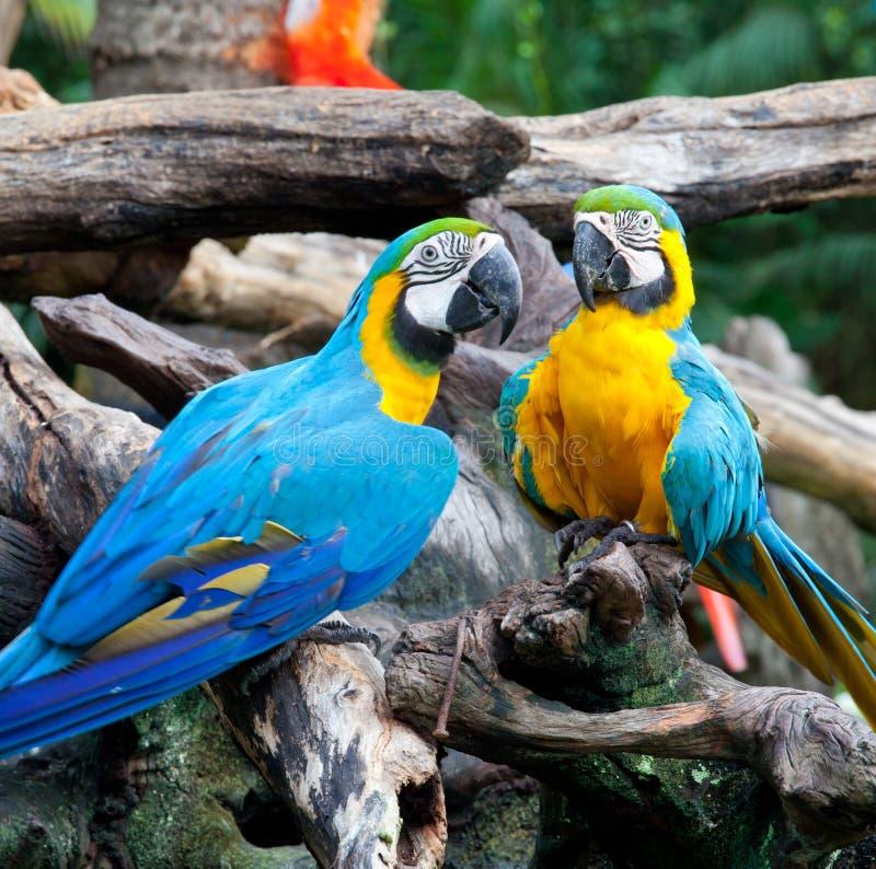 Paare Macaw lizenzfreies stockfoto