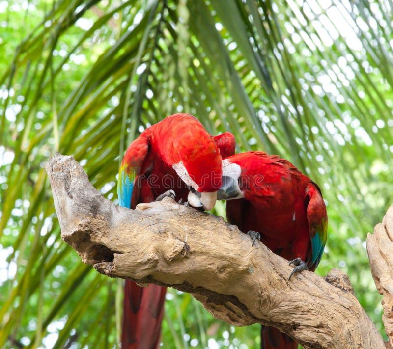 Paare Macaw stockbilder