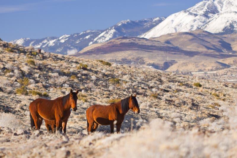Paare Mustangs lizenzfreies stockfoto