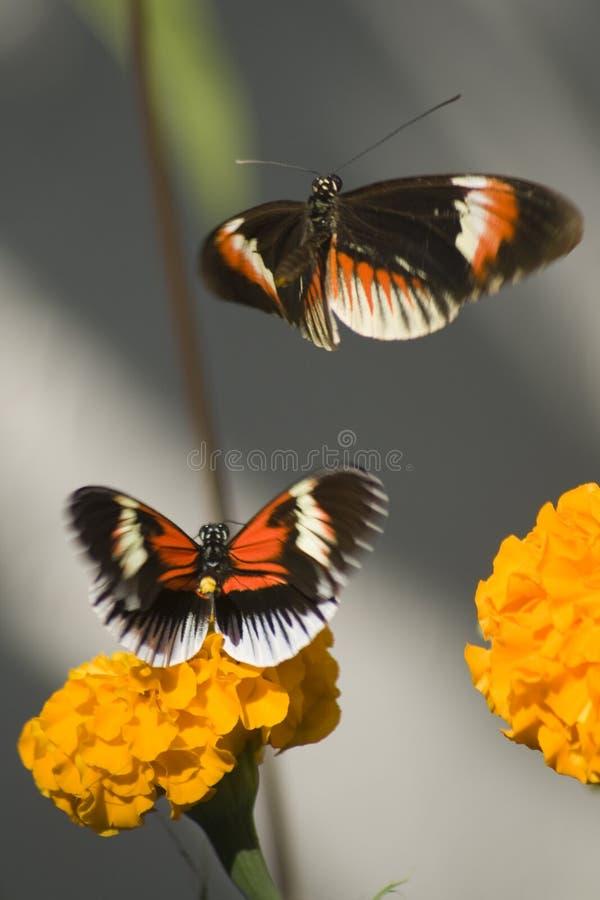 Zwei numata Schmetterlinge stockfotografie