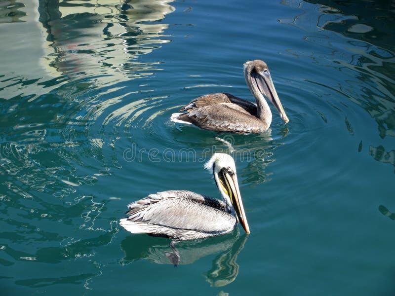 Paare Pelikane lizenzfreies stockfoto