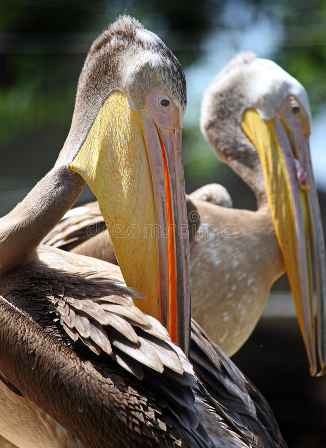 Paare Pelikane lizenzfreies stockbild