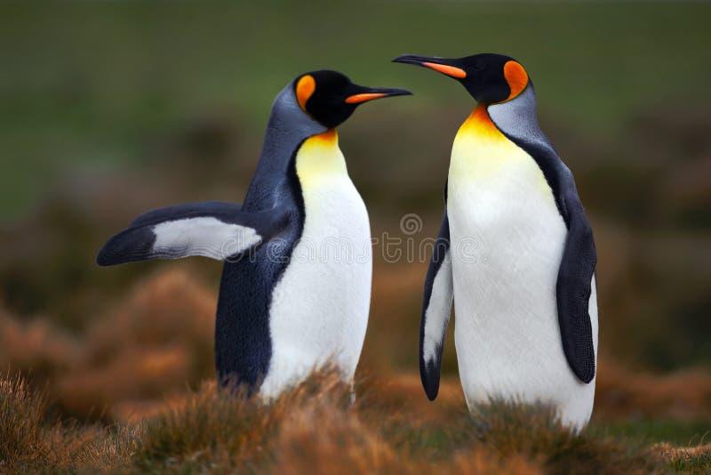 Paare Pinguine Fügende Königpinguine mit grünem Hintergrund in Falkland Islands Paare Pinguine, Liebe in der Natur Schön lizenzfreie stockfotografie