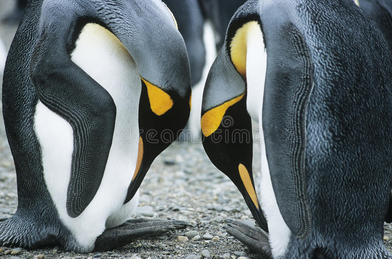 Paare Pinguine Kopf-an-Kopf- lizenzfreie stockfotografie