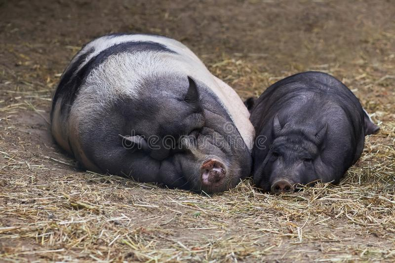 Paare Schweine halten ein Schläfchen stockbild