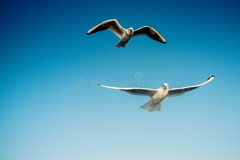 Paare Seemöwen, die in den Himmel fliegen stockbild