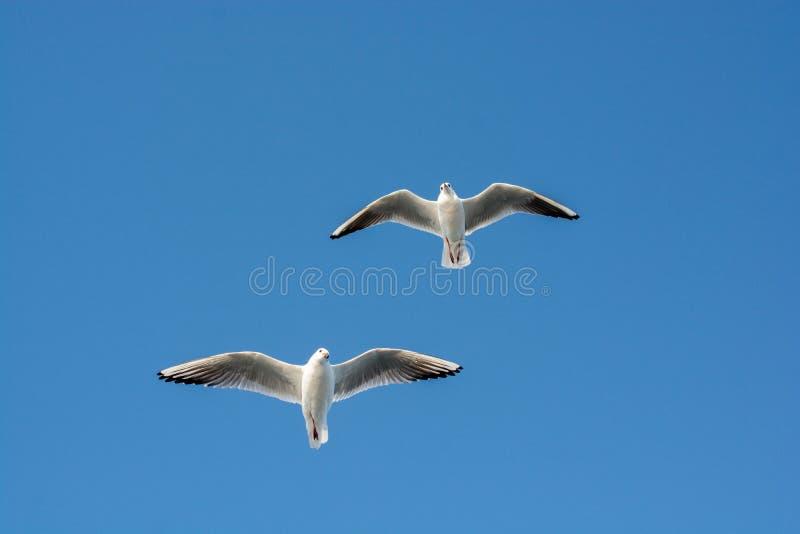 Paare Seemöwen, die in den Himmel fliegen lizenzfreie stockfotografie