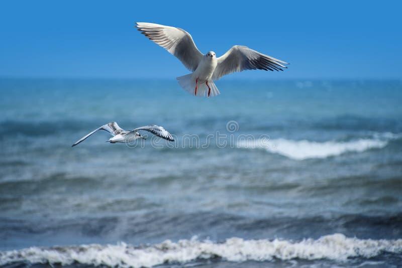 Paare Seemöwen fliegen am Strand, Ozean als Hintergrund lizenzfreie stockfotografie