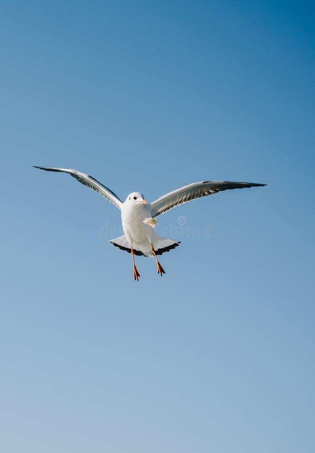 Paare Seem?wen, die in Blau einen Himmel fliegen stockfotos